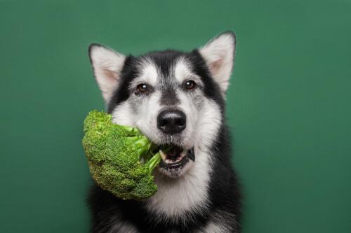 Mascotas veganas: ¿cómo afecta su salud?