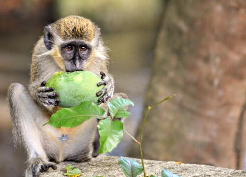 Los monos verdes tienen alarmas contra drones