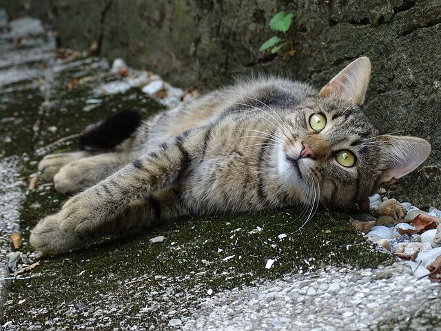 Orejas de los gatos