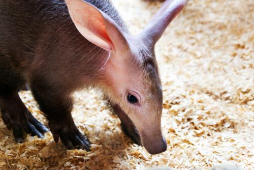 El cerdo hormiguero: aliado silencioso de la biodiversidad