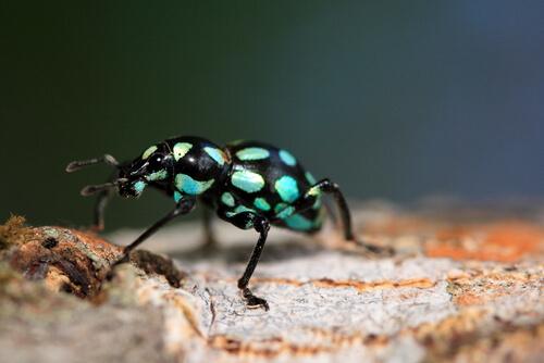 Pachyrrhynchus: la joya de 6 patas de los bosques asiáticos