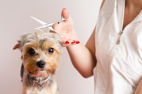 Convertirse en un peluquero para perros: 7 consejos