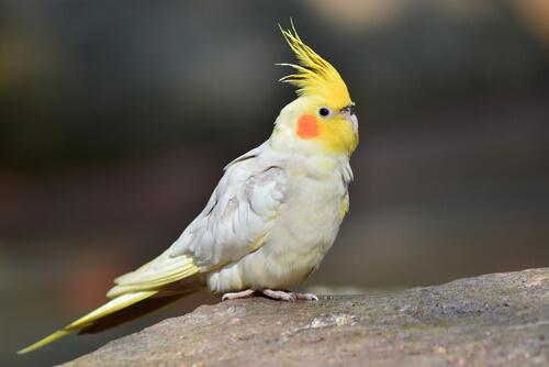 El periquito callopsite: una mascota extraordinaria