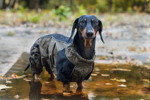 A dachshund in a raincoat.