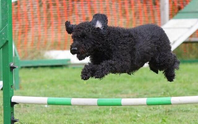 Perro haciendo agility