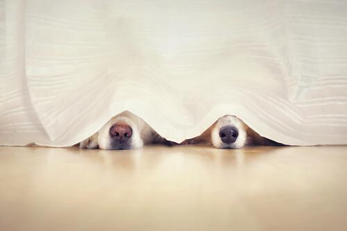 Perros jugando al escondite