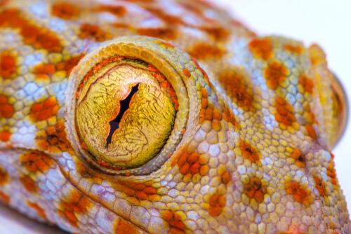 Pupila de un gecko