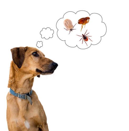 Qué daño causa la infestación con pulgas