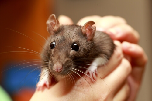 Rata como animal de compañía