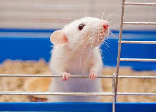 Ratas y ratones: cada vez más populares