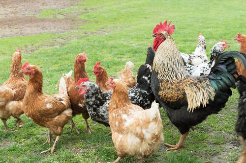 Razas de gallinas