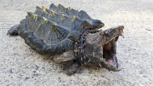 La tortuga caimán: todo lo que debes saber
