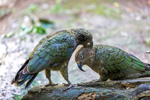 Apareamiento del kea