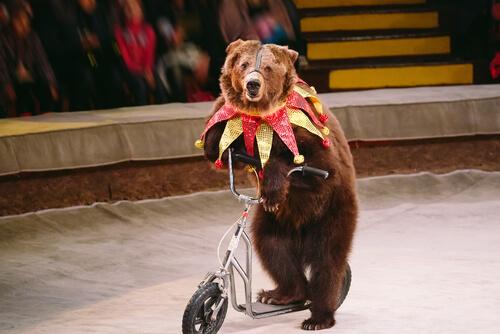 Los osos en los circos son un ejemplo de lo contrario al bienestar animal en la Unión Europea