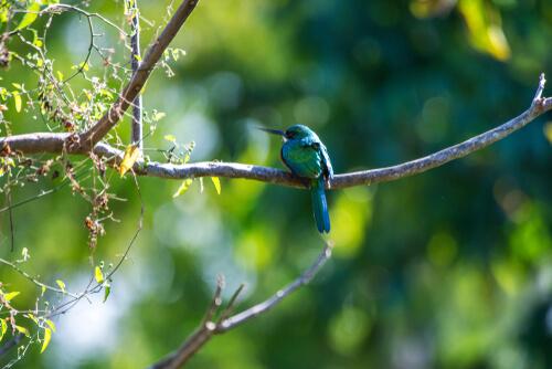 Características del ave jacamar