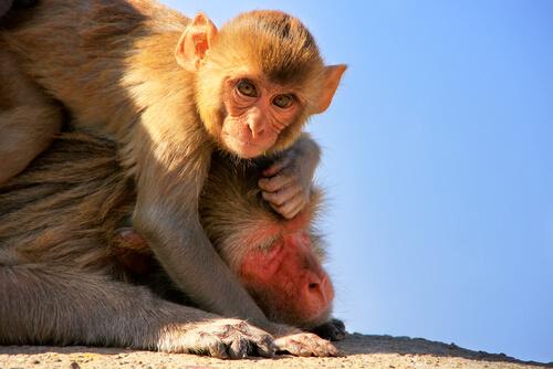Bebé de macaco