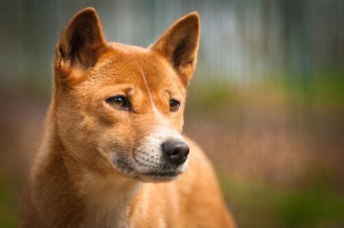 Dingo: una subespecie de lobo que habita en Australia
