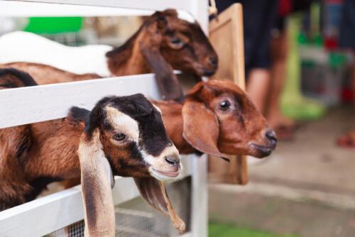 Corral para cabras