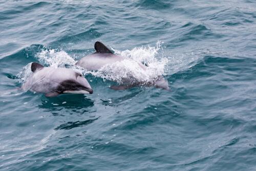 El delfín de cabeza blanca en Nueva Zelanda