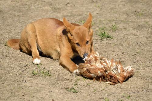 Dingo alimentándose.