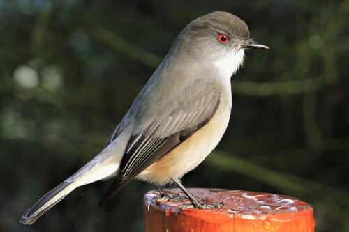 La diuca: un ave pequeña y muy común