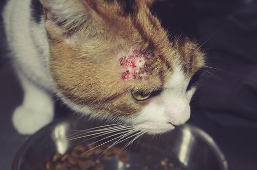 infeccion de piel en gatos