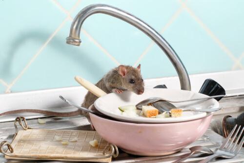 parásitos comunes de ratas