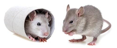 Enriquecimiento ambiental en ratones