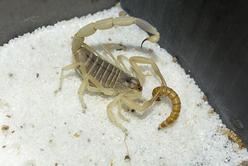 Escorpión comiendo