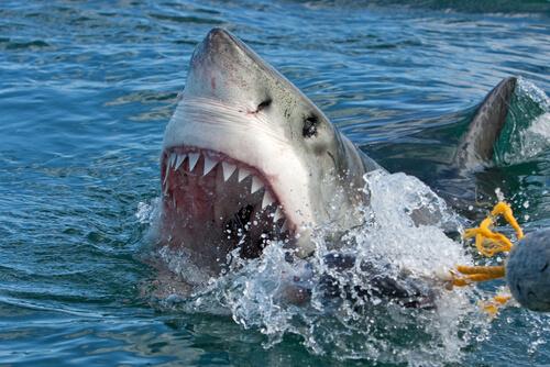 Fauces del tiburón
