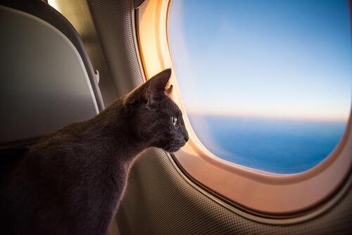 Gato mirando por la ventana en un avión.