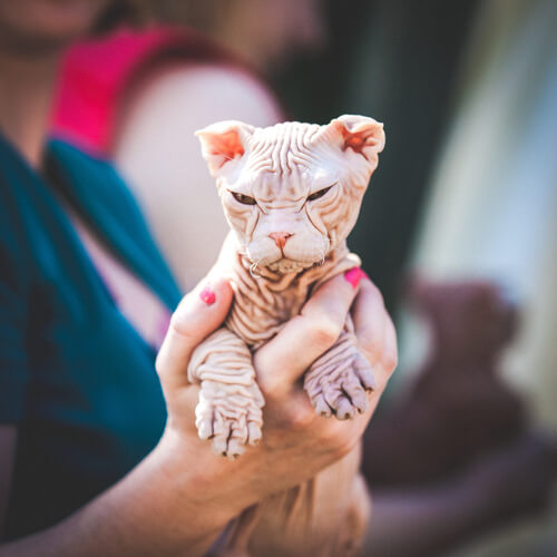 Gato calvo hawaino