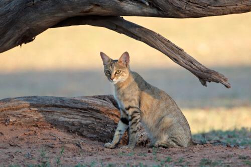 Gato salvaje africano (Felis silvestris lybica)