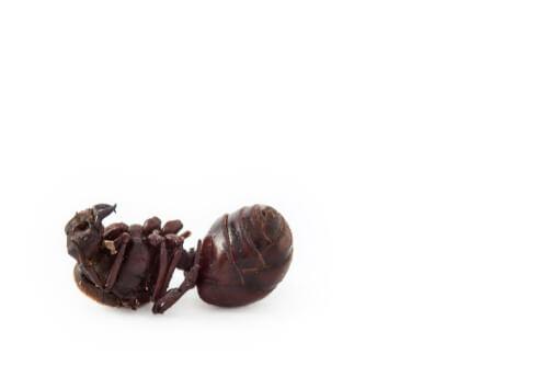 Atta laevigata: una de las hormigas cortadoras de hojas más común