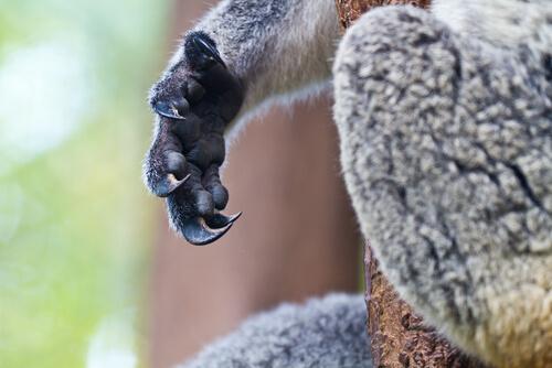 Huellas dactilares en koalas