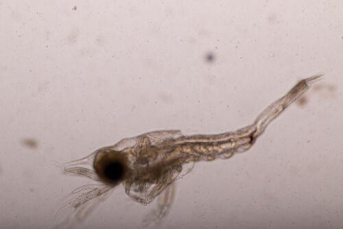 Larva mysis