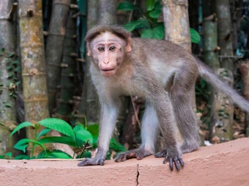 El macaco coronado y sus amenazas