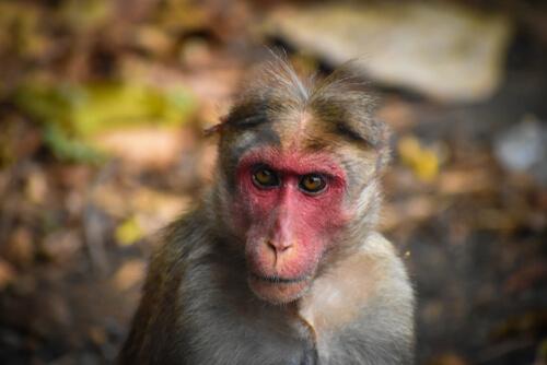 Un ejemplar de los macacos en la India