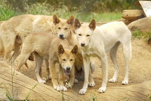 Manada de dingos