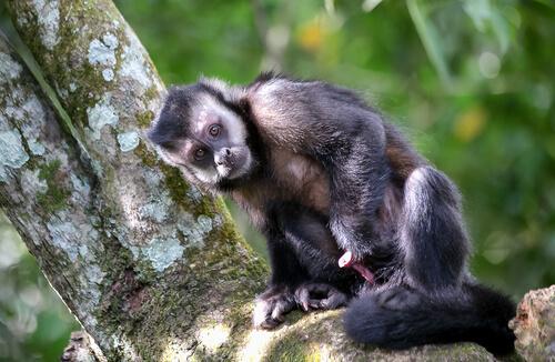 Los monos que usan herramientas desde hace 3000 años