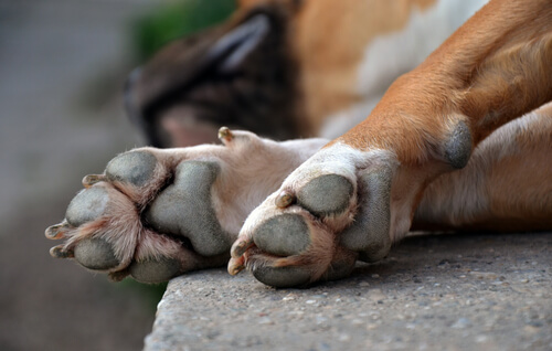 Las patas de tu perro y sus diferentes tipos de lesiones