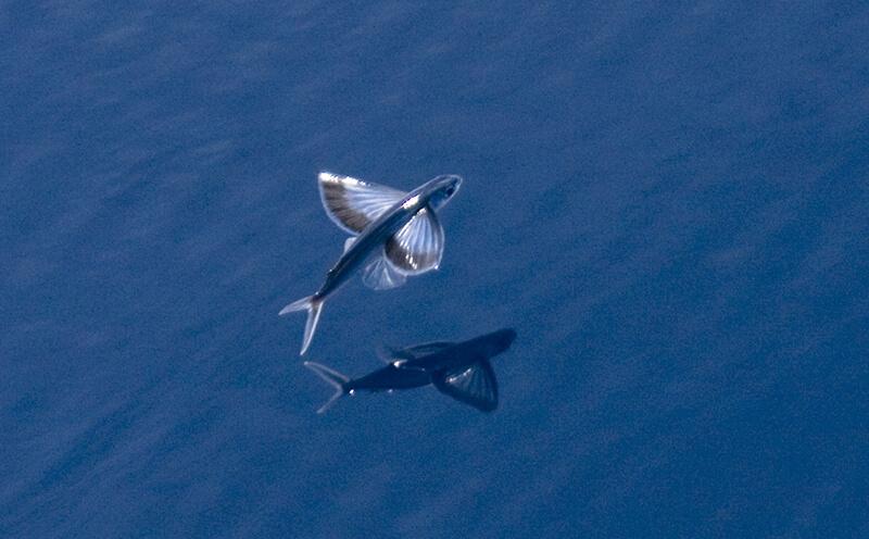 3 especies de peces voladores