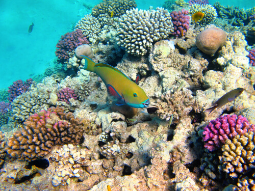 Parrotfish swimming in a coral reef.