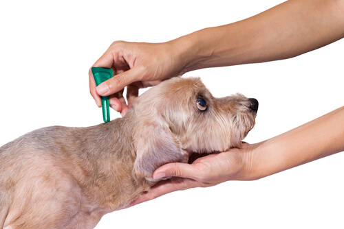 Pipeta antipulgas para un perro