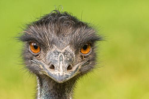 Emú: una de las aves de mayor tamaño