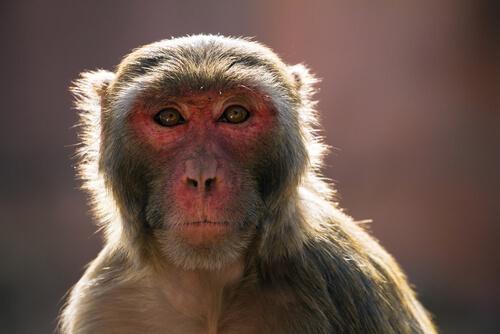 El problema de los macacos en la India