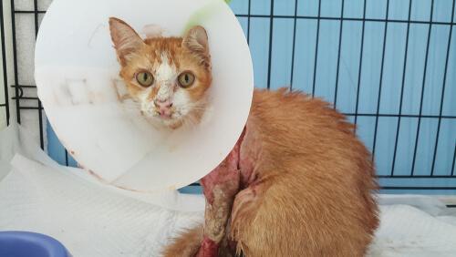 7 enfermedades de la piel en gatos