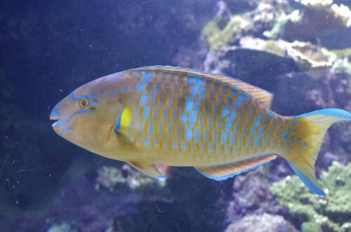 Características del pez loro a la hora de dormir