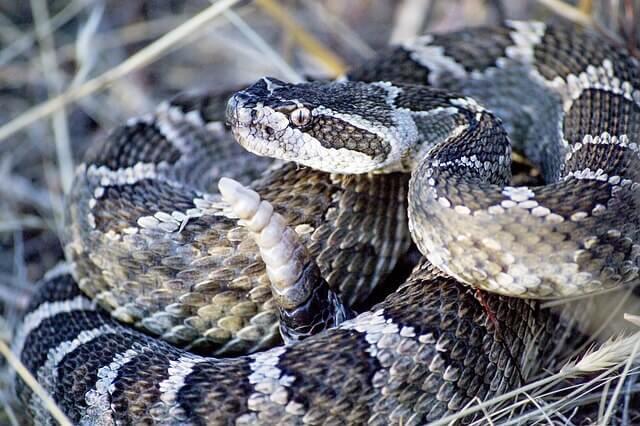 Las serpientes de cascabel: una especie venenosa de Norteamérica
