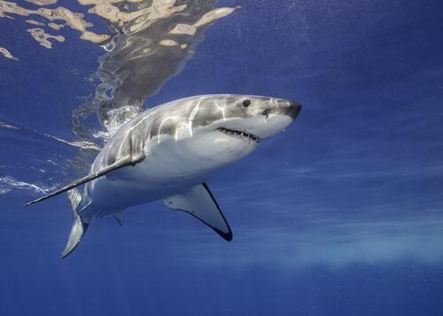 Alimentación del tiburón blanco